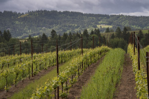 Hikes in the Vineyard @ Anne Amie Twelve Oaks Estate | Sherwood | Oregon | United States