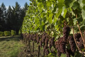 Summer Winemaker's Dinner @ Anne Amie Vineyards | Carlton | Oregon | United States