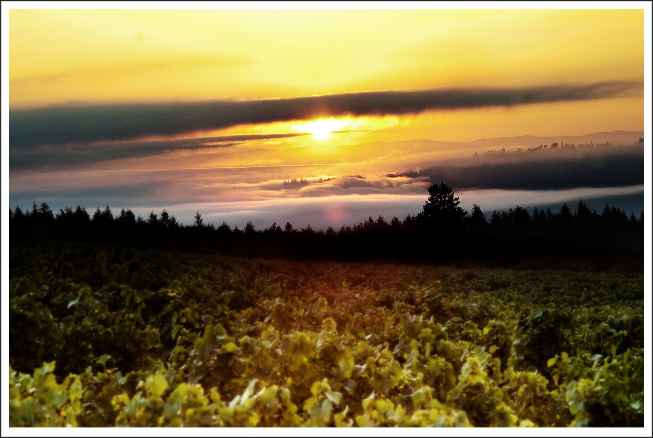 Sunrise at Anne Amie Vineyard